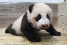 Photo of SMILE BIRTH PROJECT ~命のバトンを、希望のバトンへ。~ジャイアントパンダの赤ちゃんが生後3か月を迎えました!名前募集は明日(2/23)まで行っております|アドベンチャーワールドのプレスリリース